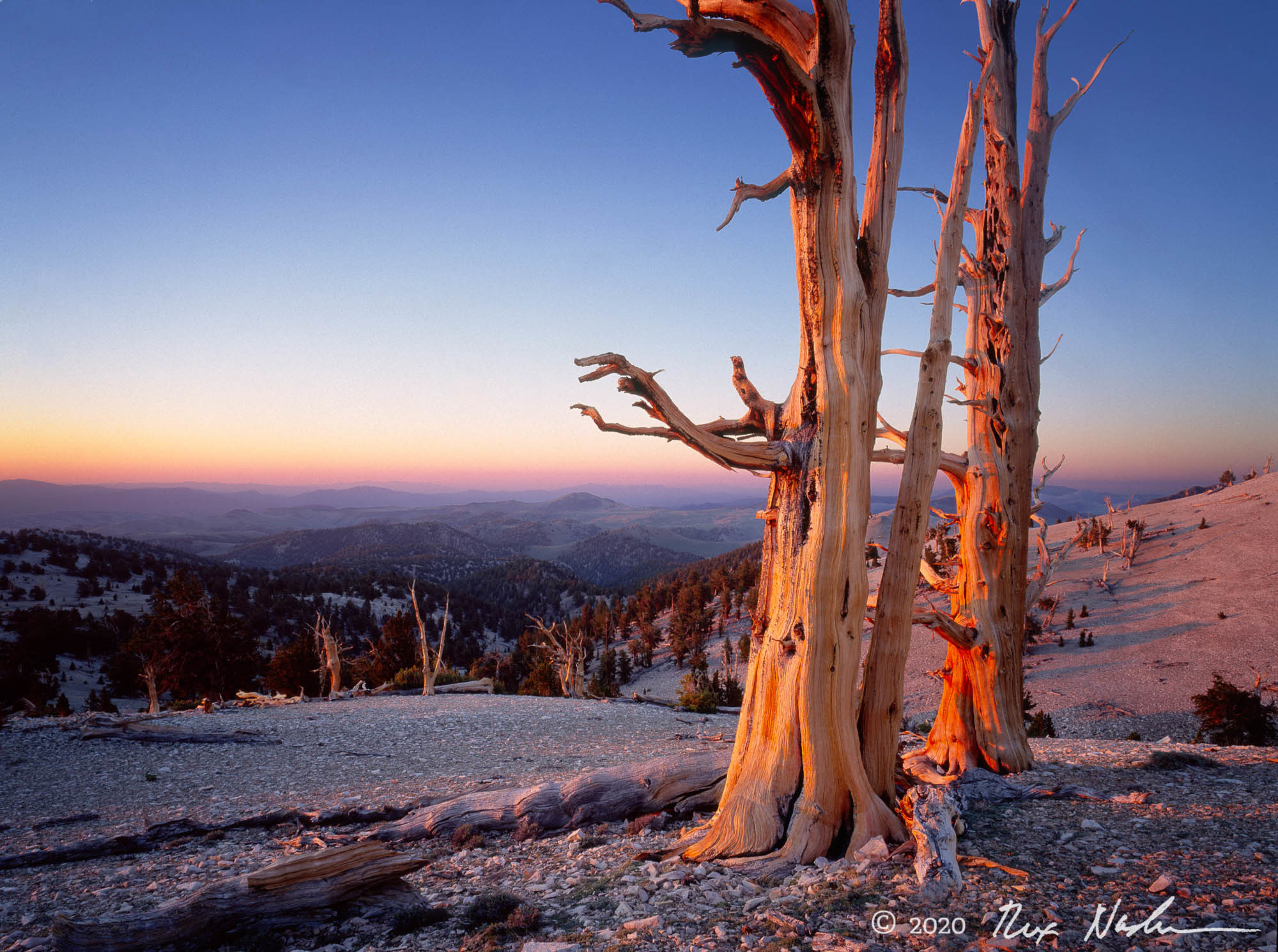 Sunrise and Bristlecones - White Mountains, CA