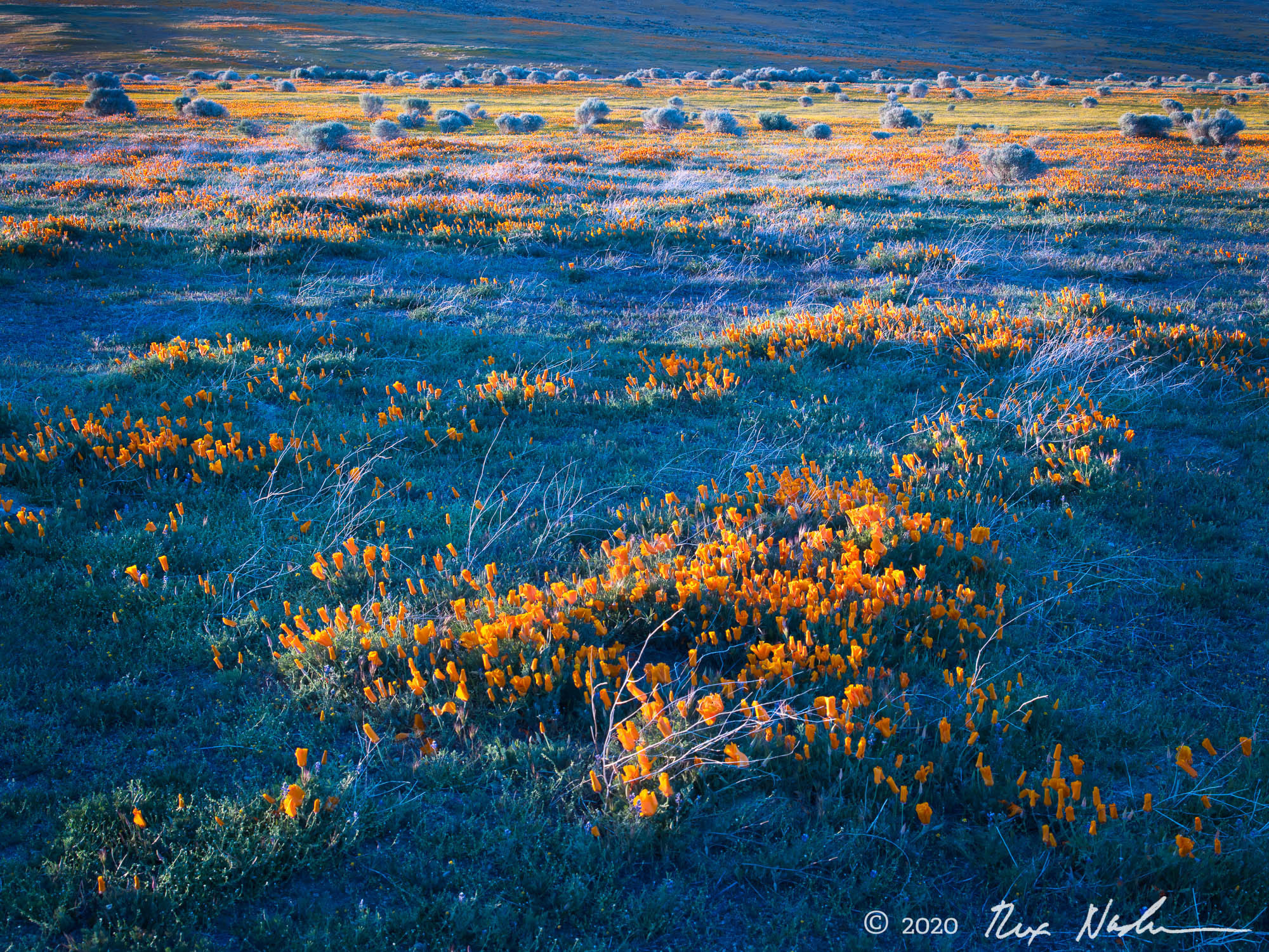 Poppies and Brush - Lancaster, CA