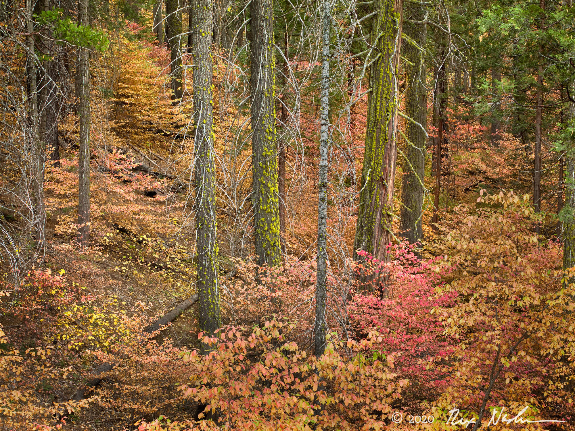 Foret Rouge - Yosemite NP