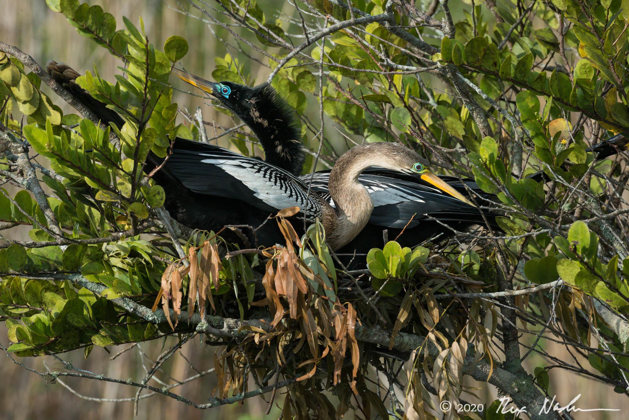 Nesting Pair - Everglades NP