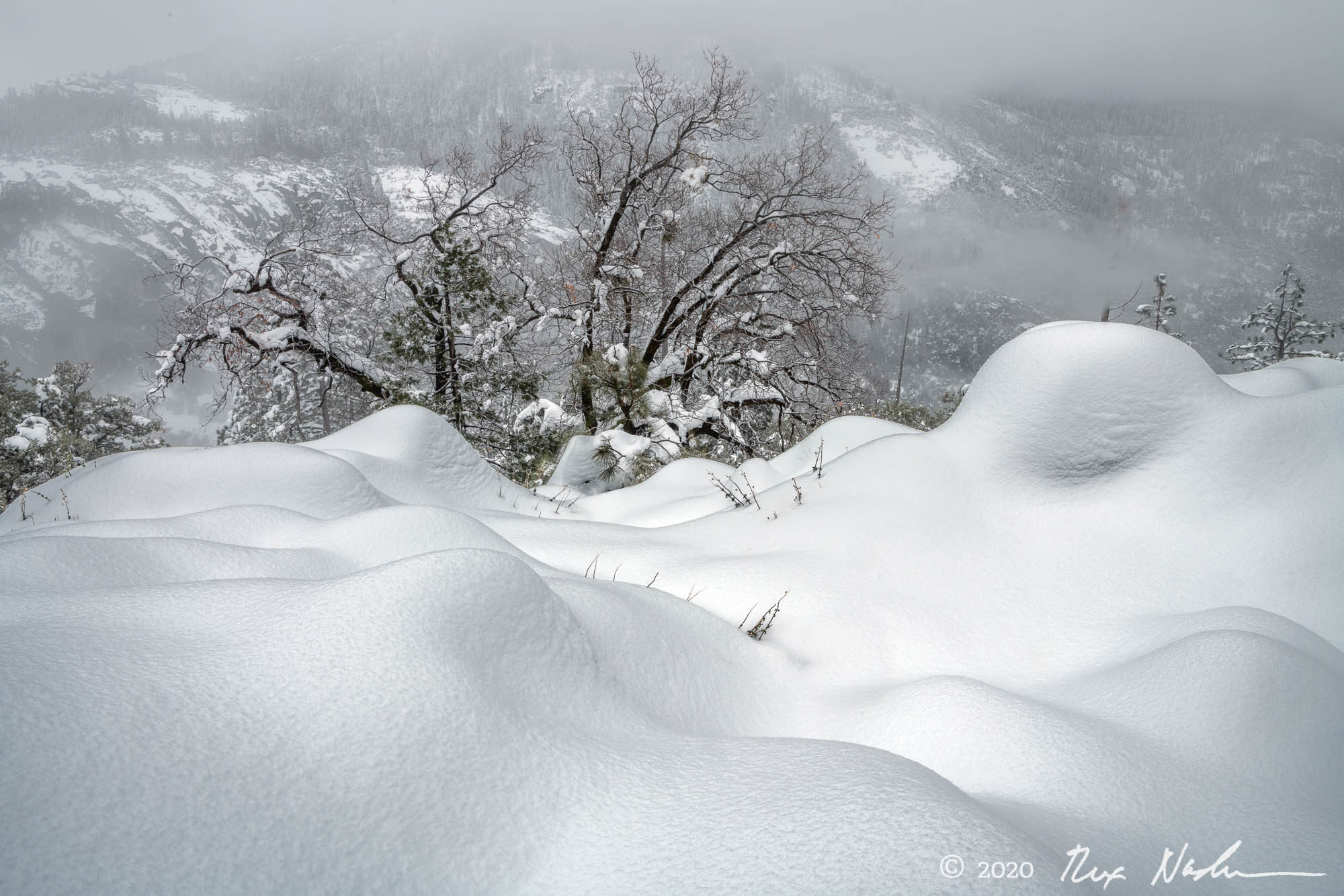 Black Oak with Pillows - Yosemite NP