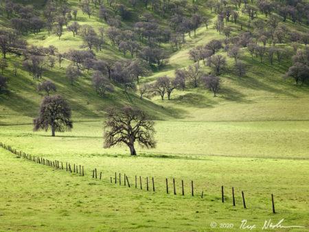 Valley Oaks